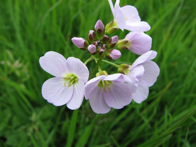 Image result for cuckoo flower uk