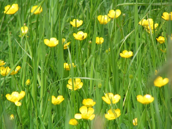 http://www.strickley.co.uk/buttercups2.jpg